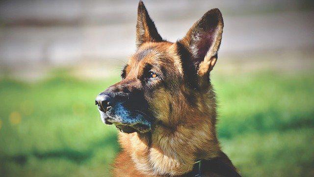 У Польщі коронавірус виявлятимуть собаки