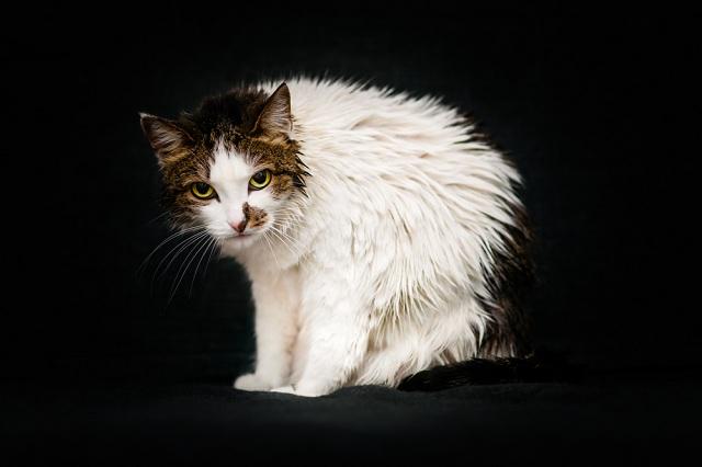 Більше 10 сіл на Київщині пішли на карантин через скажену кішку – РДА