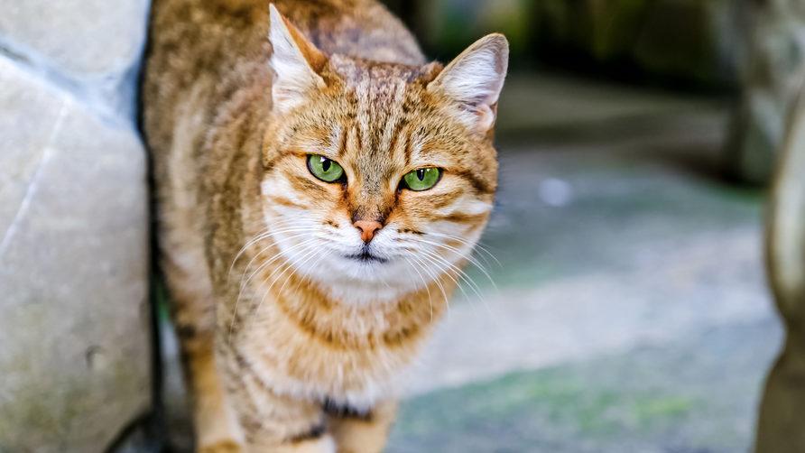 кіт, чума